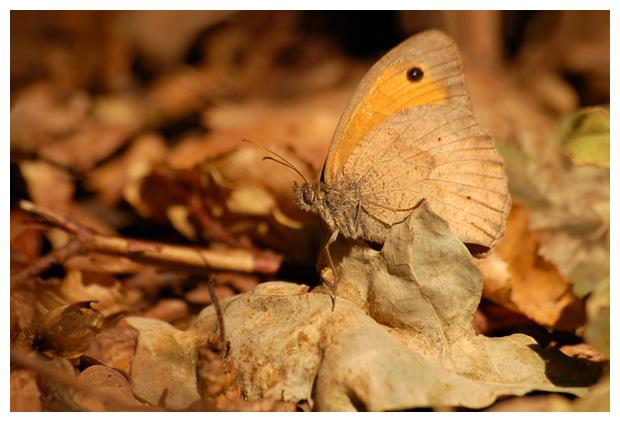 Bruin Zandoogje (Maniola jurtina) , zandoogjes, zandoogjefoto´s, zandoog, zandoogje,  vlinder, vlinders, vlindertje, vlindertjes, vlinderfotos, vlinderfoto´s, vlinderfoto's, dagvlinder, dagvlinders,