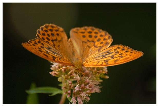 keizersmantel (argynnis paphia), keizersmantels, keizermantel, keizersmantelfoto´s, vlinder, vlinders, vlindertje,, , mannetje
