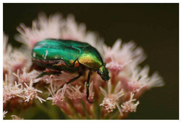 foto's, diverse verschillende soorten Bladsprietkevers (Scarabaeidae), kever