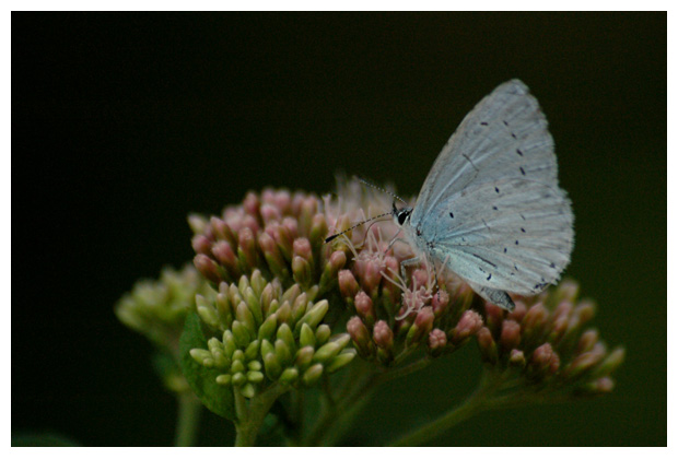 boomblauwtje (celastrina argiolus), boomblauwtjes, boomblauwtjefoto´s, het blauwtje, blauwtjes, blauw, blauwe vlinder, vlinders, vlindertje,,