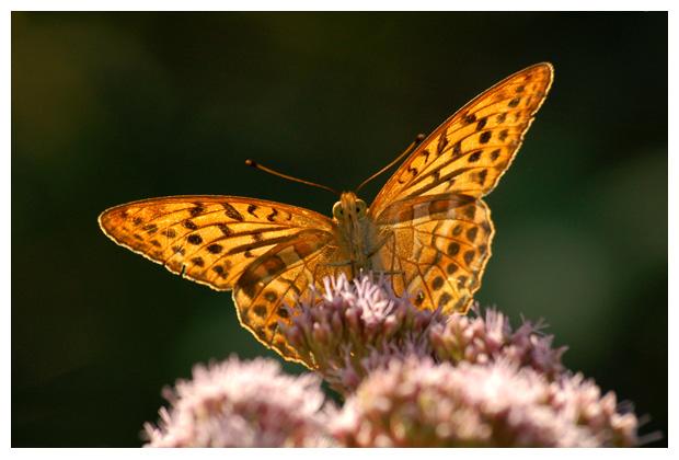 keizersmantel (argynnis paphia), keizersmantels, keizermantel, keizersmantelfoto´s, vlinder, vlinders, vlindertje,, , mannetjes