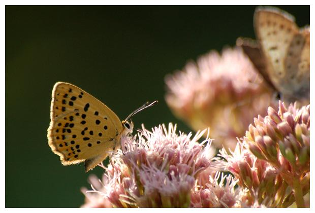 bruine vuurvlinder (Lycaena tityrus), bruin vuurvlindertje, vuurvlinderfoto´s, vlinder, vlinders, vlindertje,,
