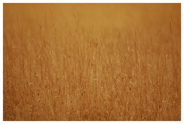 diverse soorten gras, grassen, grasje, grasjes, grasfoto´s, riet, rieten, rietje, rietjes, rietfoto´s, plant, planten, plantenfotos, plantenfoto´s, vasteplant