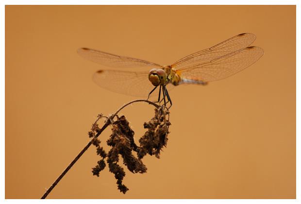 steenrode heidelibel (sympetrum vulgatum) , heidelibellen, heidelibelles, heidelibelfoto´s, libel, libellen, libelfoto´s, libelfoto's, libelfotos, libellenfoto´s, libellenfoto's, libellenfotos, libelle, insect, insecten, insekten, insekten