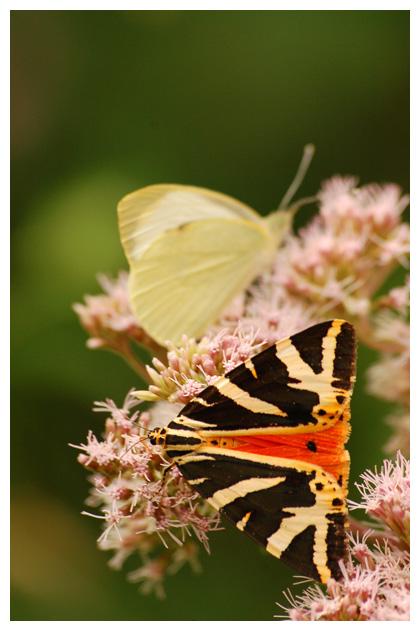 spaanse vlag (euplagia quadripunctaria), vlags, vlaggen, spaanse vlagfoto´s, beer, beren, vlinder, vlinders, vlindertje, vlindertjes, vlinderfotos, vlinderfoto´s, vlinderfoto's, nachtvlinder, nachtvlinders, nachtvlinderfoto´s, nachtvlinderfotos, mot, motten, motje, motjes,