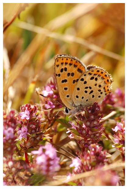 bruine vuurvlinder (Lycaena tityrus), bruin vuurvlindertje, vuurvlinderfoto´s, vlinder, vlinders, vlindertje, vlindertjes, vlinderfotos, vlinderfoto´s, vlinderfoto's, dagvlinder, dagvlinders,