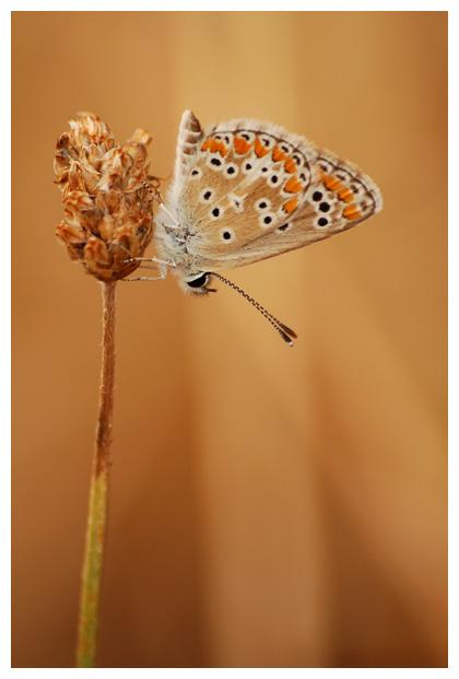 bruin blauwtje (aricia agestis) , blauwtjefoto´s, blauwtje, bruinblauwtje, bruin, bruine, bruintje, vlinder, vlinders, vlindertje, vlindertjes, vlinderfotos, vlinderfoto´s, vlinderfoto's, dagvlinder, dagvlinders,