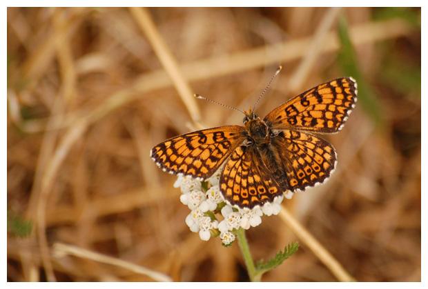 veldparelmoervlinder (melitaea cinxia), veldparelmoervlinders, parelmoer, parelmoervlinder, parelmoervlinders, veldparelmoervlinderfoto´s,  vlinder, vlinders, vlindertje,,