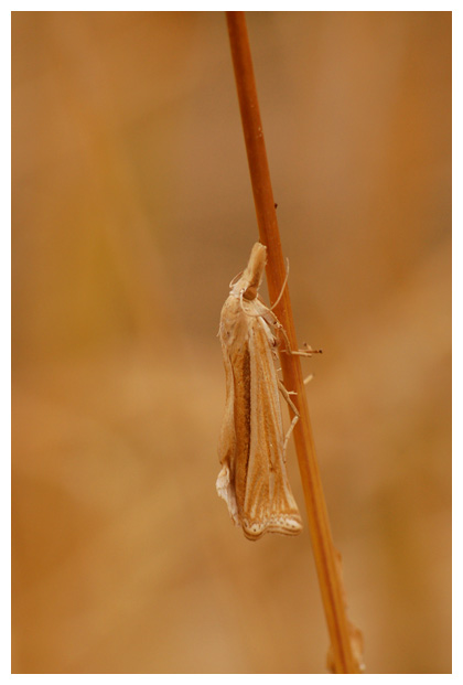 (ancylolomia tentaculella) , (crambidae), grasmot