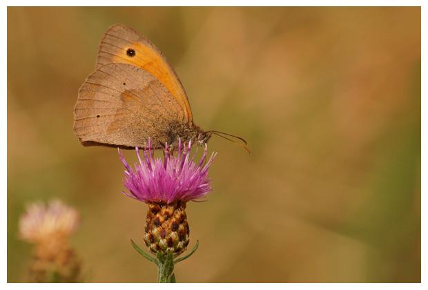 Bruin Zandoogje (Maniola jurtina) , zandoogjes, zandoogjefoto´s, zandoog, zandoogje,  vlinder, vlinders, vlindertje,,