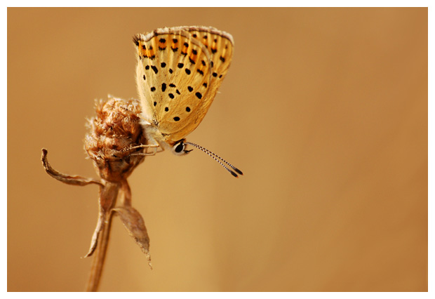 bruine vuurvlinder (Lycaena tityrus), bruin vuurvlindertje, vuurvlinderfoto´s, vlinder, vlinders, vlindertje, vlindertjes, vlinderfotos, vlinderfoto´s, vlinderfoto's, dagvlinder, dagvlinders, dagvlinderfoto´s, dagvlinderfotos, insect, insecten, insekt, insekten