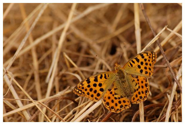 kleine parelmoervlinder (issoria lathonia), klein parelmoer, parelmoertje, parelmoervlinders, parelmoervlindertje, parelmoervlinderfoto´s, vlinder, vlinders, vlindertje,,