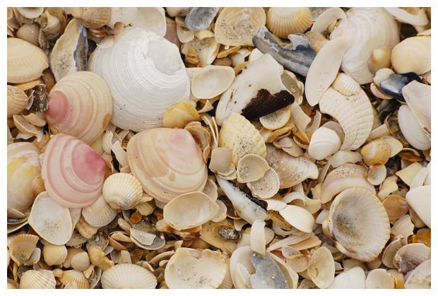 foto's, diverse soorten, verschillende schelp, schelpen, schelpje