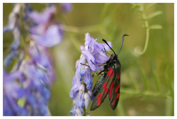 foto's, Sint jansvlinder of bloeddropje (Zygaena filipendulae), nachtvlinder