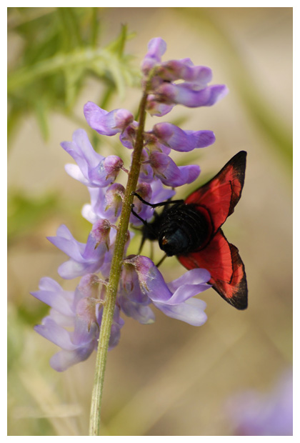 foto's, Vogelwikke (Vicia cracca), plant