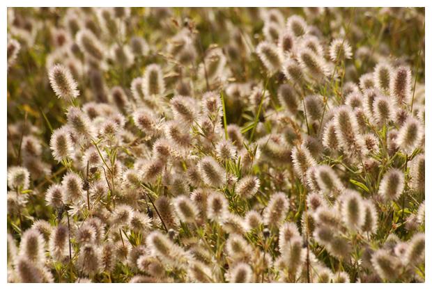 foto's, Hazenpootje (Trifolium arvense), klaver