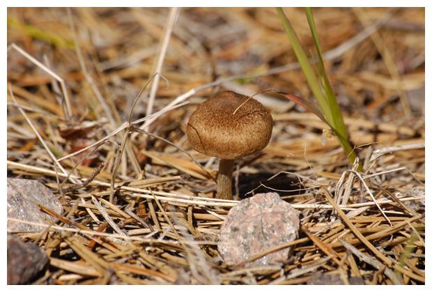 foto's, Zandpadvezelkop (Inocybe lacera), paddenstoel
