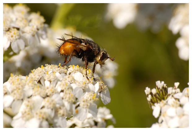 foto's, familie Sluipvliegen (Tachinidae), vlieg