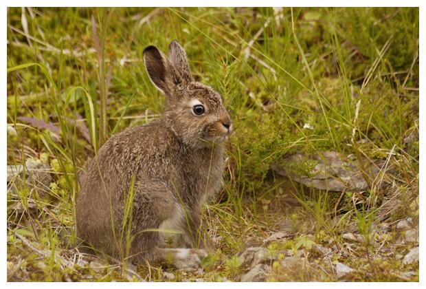 foto's, Sneeuwhaas (Lepus timidus), konijn