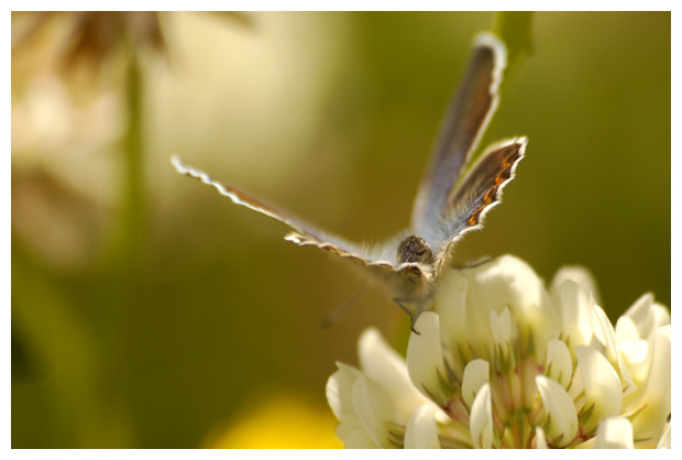 foto's, Witte klaver (Trifolium repens), plant