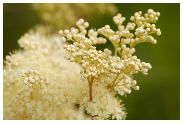 foto's, Moerasspirea (Filipendula ulmaria), plant