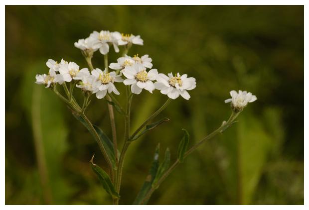 foto's, Wilde bertram (Achillea ptarmica), bloem