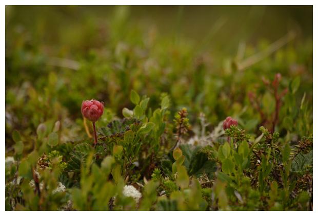 foto's, Kruipbraam, Gele bosbraam, Veenbraam of Bergbraam (Rubus chamaemorus), plant, braam Zweden