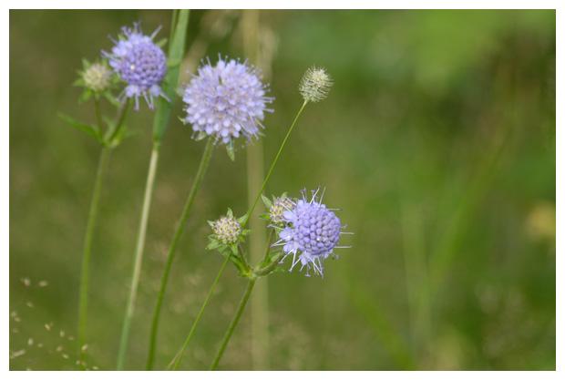 foto's, Blauwe knoop (Succisa pratensis, synoniem: scabiosa succisa), tuinplant
