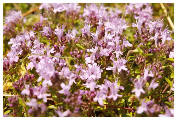 foto's, Kleine tijm (Thymus serpyllum), plant