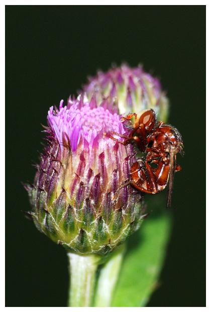 foto's, familie Blaaskopvliegen (Conopidae), vlieg