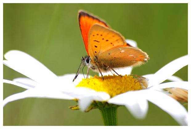foto's, Gewone margriet (Leucanthemum vulgare), bloem