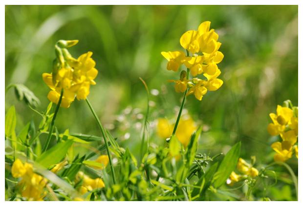 foto's, Veldlathyrus (Lathyrus pratensis), plant