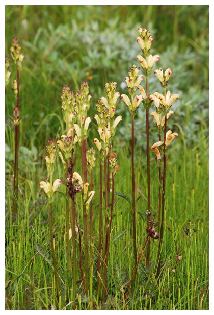 foto´s, Karels scepter (Pedicularis sceptrum-carolinum), plant