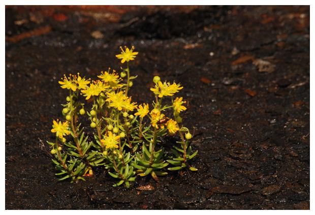 foto's Tripmadam (Sedum rupestre, reflexum), plant