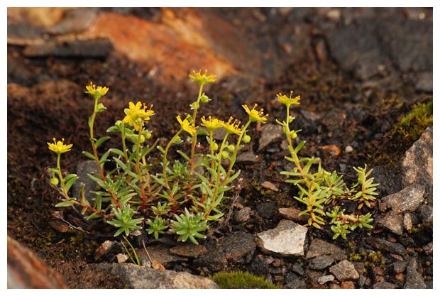 foto's, Tripmadam (Sedum rupestre, reflexum), plant