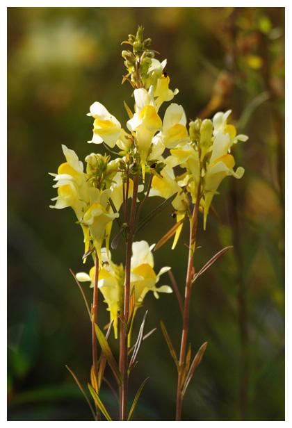 foto's, Vlasbekje (Linaria vulgaris), leeuwenbekje