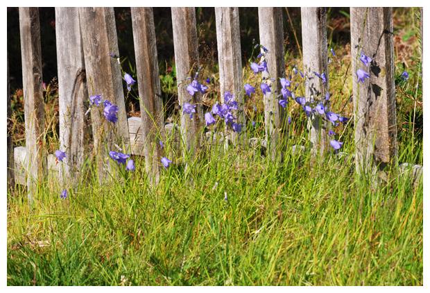 foto´s, Grasklokje (Campanula rotundifolia), plant
