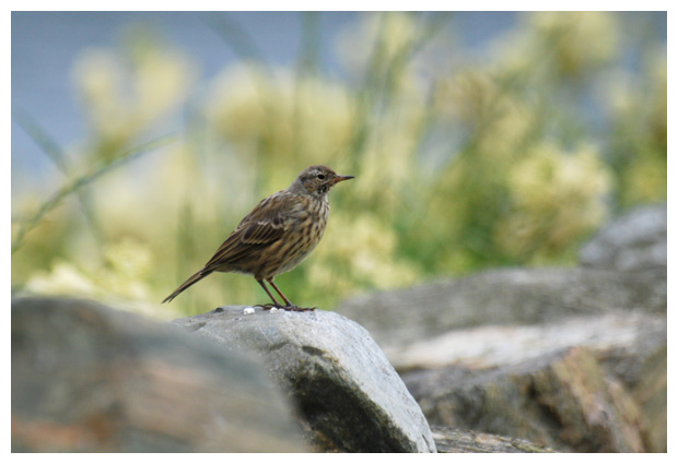 foto's, Graspieper (Anthus pratensis), vogel