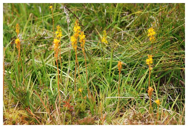 foto´s, Beenbreek (Narthecium ossifragum), plant