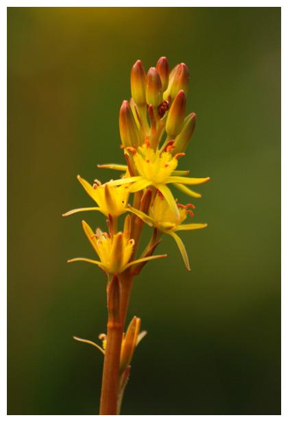 foto's, Beenbreek (Narthecium ossifragum), plant