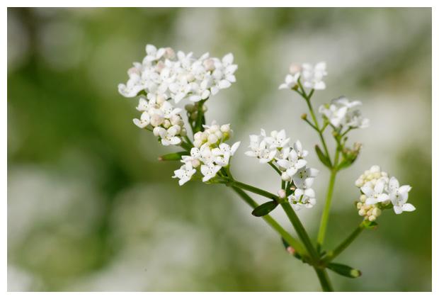 foto's, Moeraswalstro (Galium palustre, elongatum)