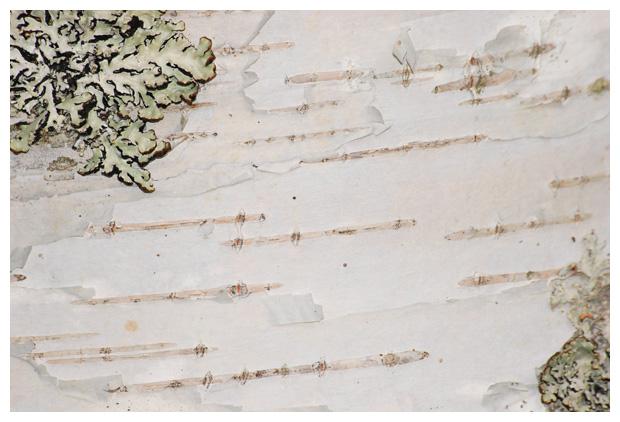 foto´s, Zachte berk (Betula pubescens), boom
