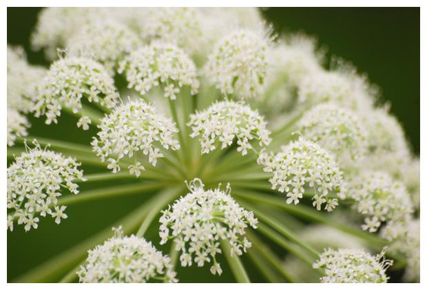 Gewone engelwortel (angelica sylvestris), plant