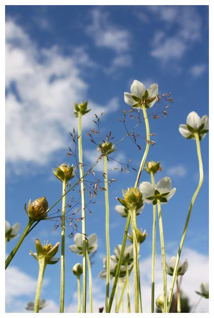 foto´s, Parnassia (Parnassia palustris l.),(Parnassiaceae), plant