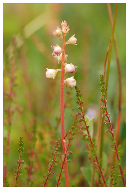 Rond wintergroen (Pyrola rotundifolia), heifamilie (ericaceae)