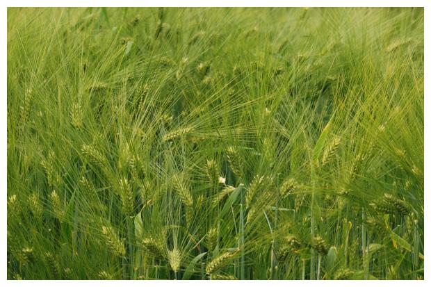 foto's, Gerst (Hordeum vulgare), gras