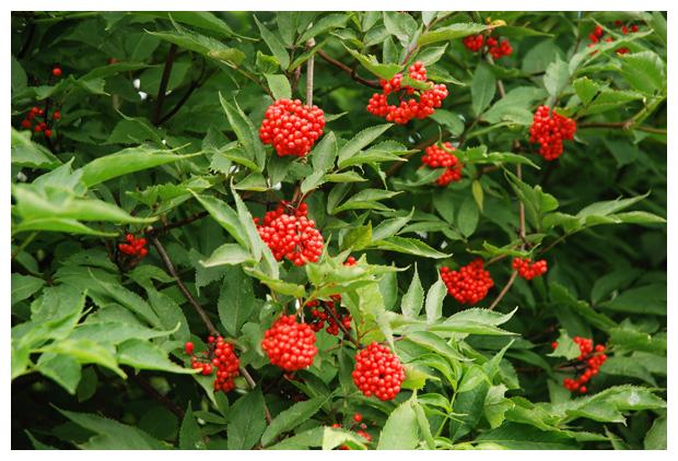foto's, Trosvlier of bergvlier (Sambucus racemosa), heester