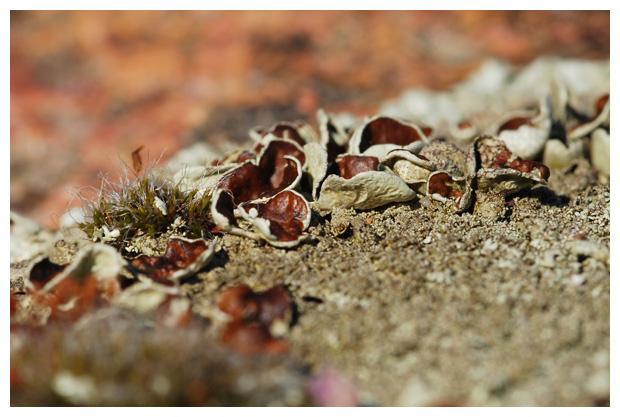 foto's, Granietschildmos (Xanthoparmelia conspersa), korstmos
