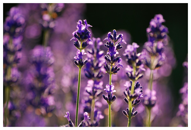 foto's, Echte Lavendel of Spijklavendel (Lavandula angustifolia), tuinplant