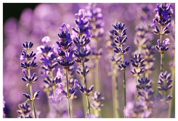 foto's, Echte lavendel, Spijklavendel (Lavandula angustifolia)